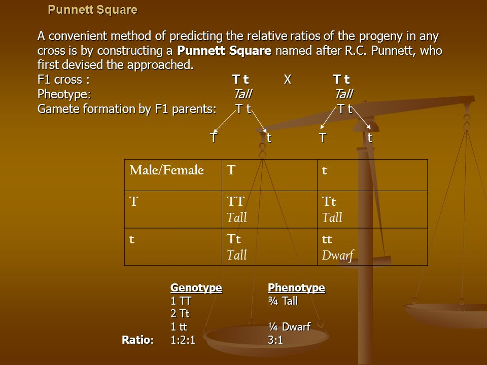 Punnett Square Male/FemaleTt TTT Tall Tt Tall tTt Tall tt Dwarf A convenient method of predicting the relative ratios of the progeny in any cross is b