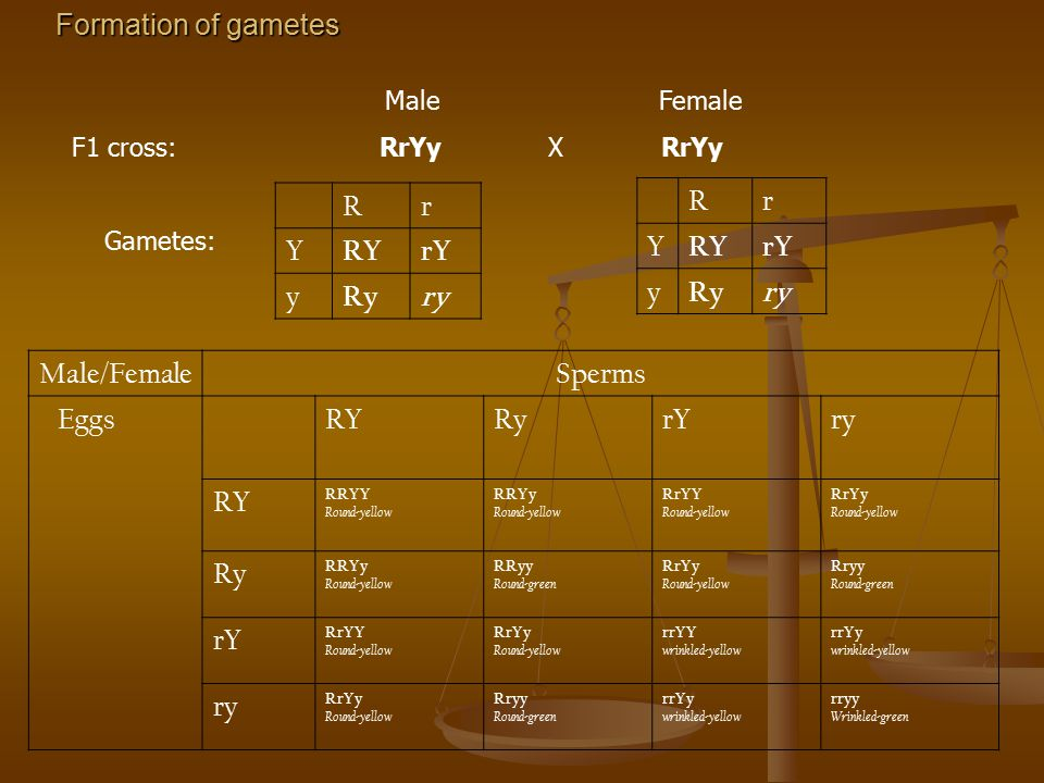 Formation of gametes Rr Y RYrY y Ryry Rr Y RYrY y Ryry Male Female F1 cross: RrYy X RrYy Gametes: Male/FemaleSperms EggsRYRyrYry RY RRYY Round-yellow