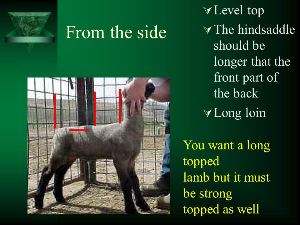 From the rear  The widest portion should be the center or stifle  Wide based  Inside leg muscle  Wedge made stifle wide base