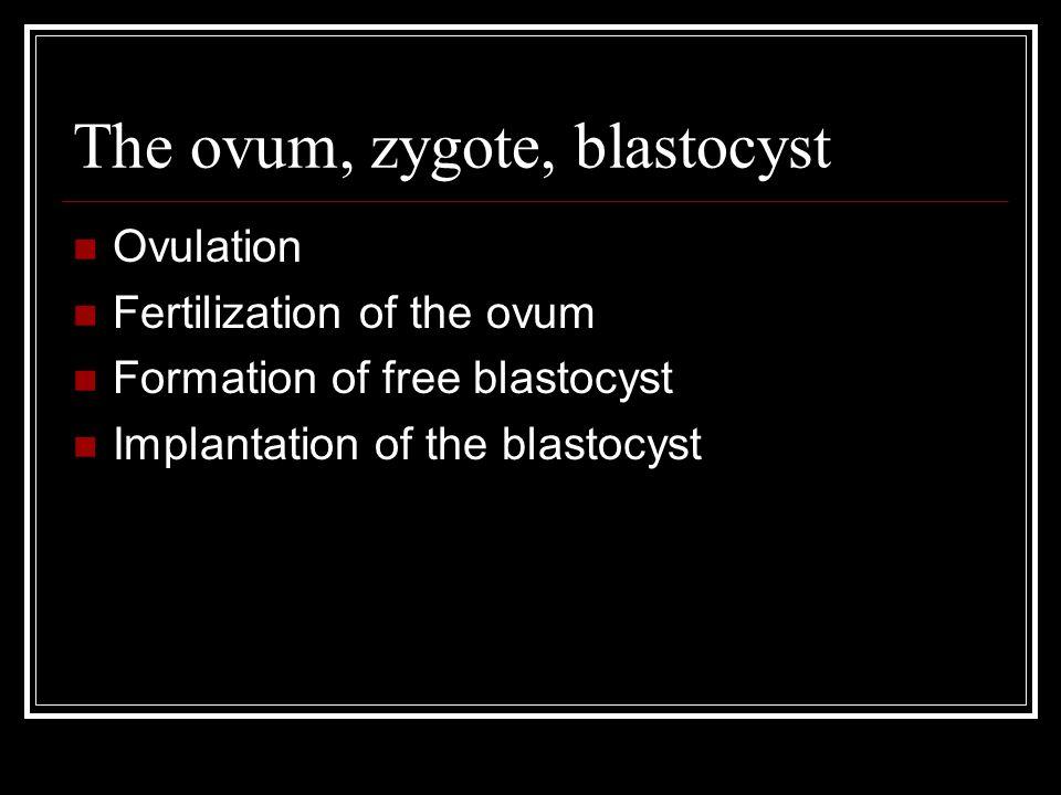 The ovum, zygote, blastocyst Ovulation Fertilization of the ovum Formation of free blastocyst Implantation of the blastocyst