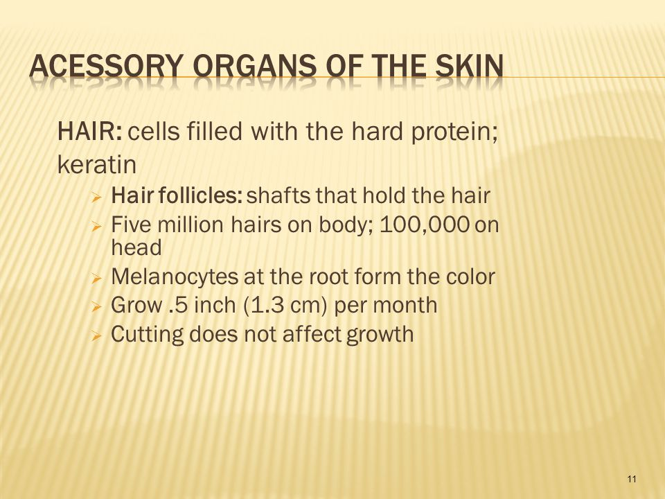 11 HAIR: cells filled with the hard protein; keratin  Hair follicles: shafts that hold the hair  Five million hairs on body; 100,000 on head  Melanocytes at the root form the color  Grow.5 inch (1.3 cm) per month  Cutting does not affect growth