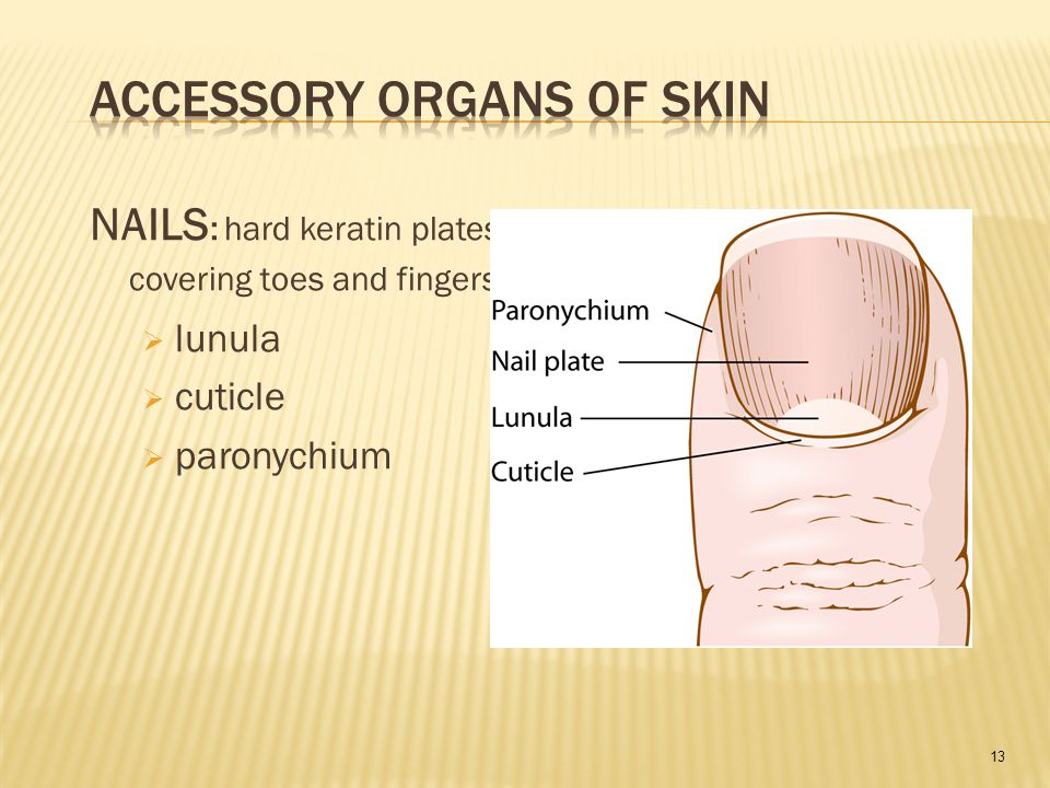 13 NAILS : hard keratin plates covering toes and fingers  lunula  cuticle  paronychium