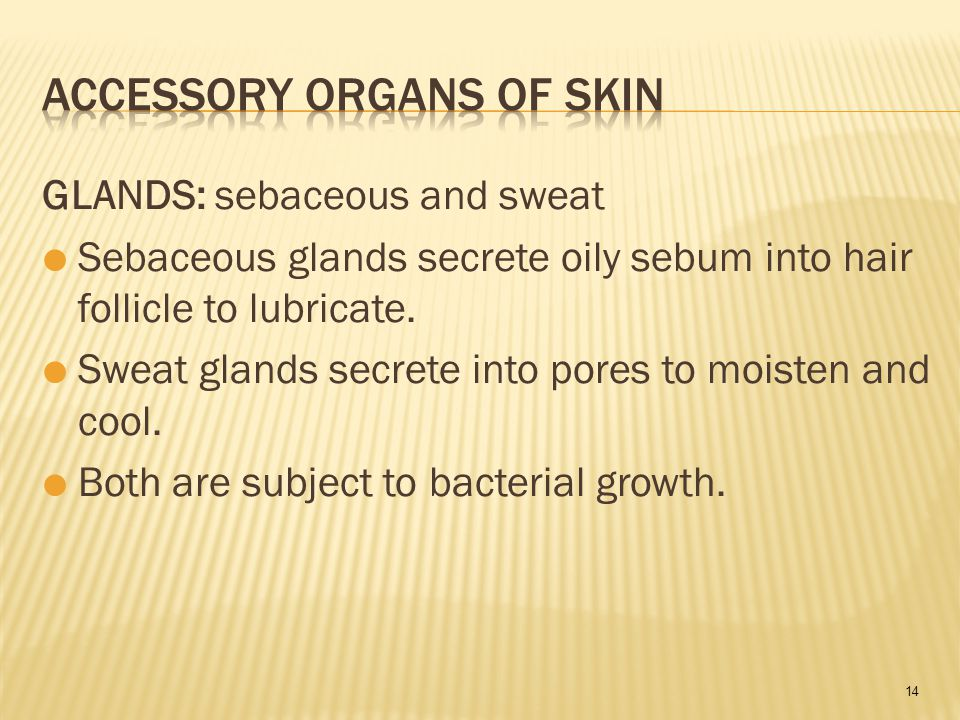 14 GLANDS: sebaceous and sweat  Sebaceous glands secrete oily sebum into hair follicle to lubricate.
