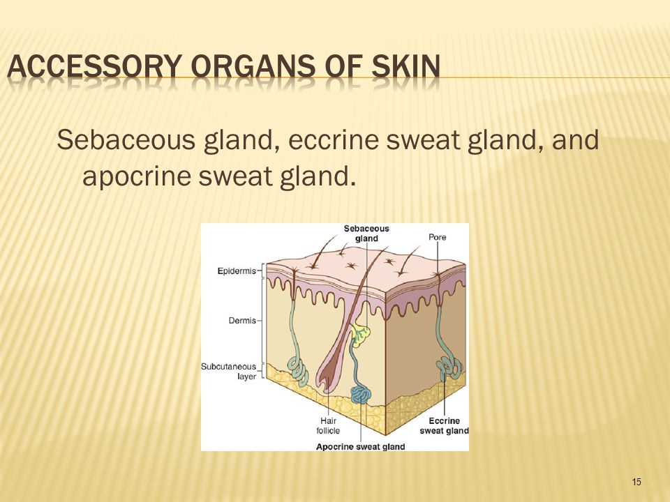 15 Sebaceous gland, eccrine sweat gland, and apocrine sweat gland.