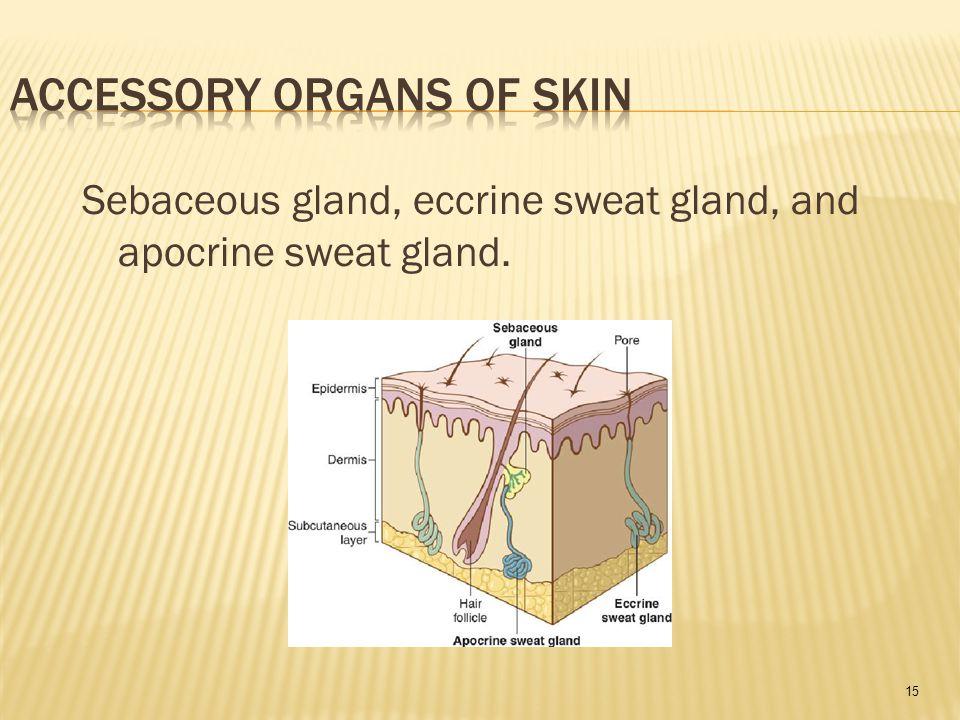 15 Sebaceous gland, eccrine sweat gland, and apocrine sweat gland.