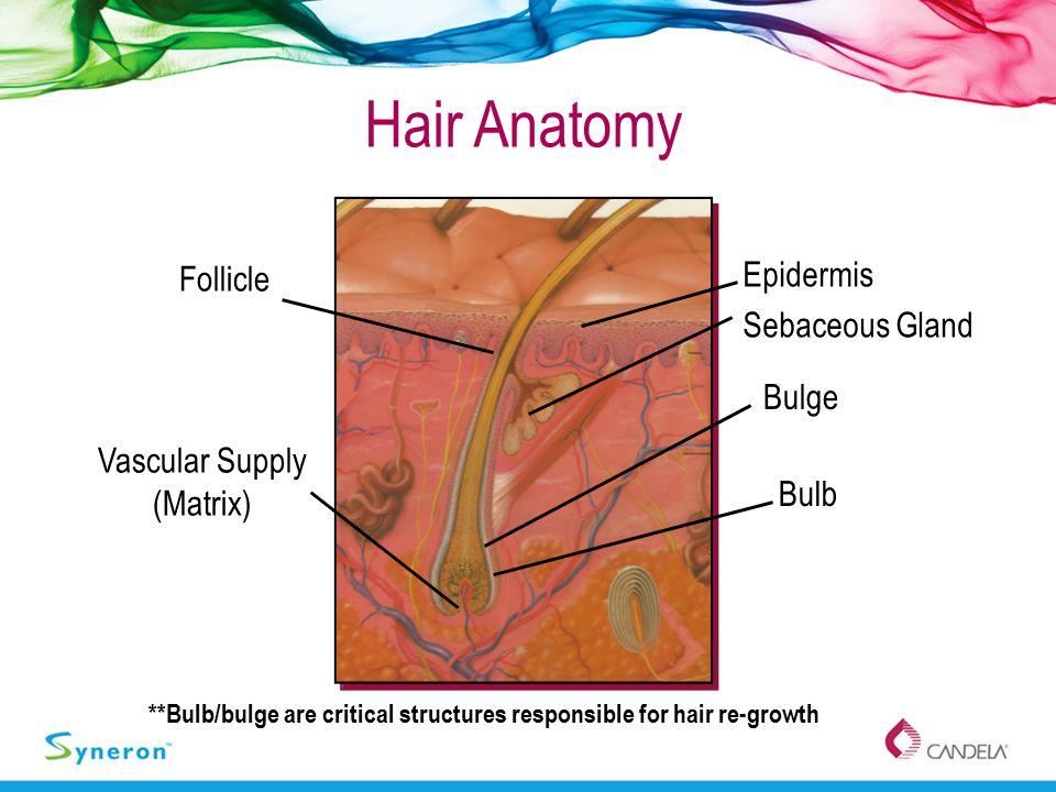 Hair Anatomy Epidermis Sebaceous Gland Bulb **Bulb/bulge are critical structures responsible for hair re-growth Follicle Bulge Vascular Supply (Matrix