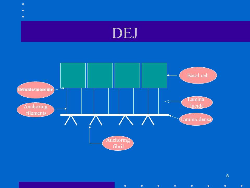 7 DERMIS The dermis contains: fibrobalsts mast cells Langerhans cells lymphocytes and blood vessels