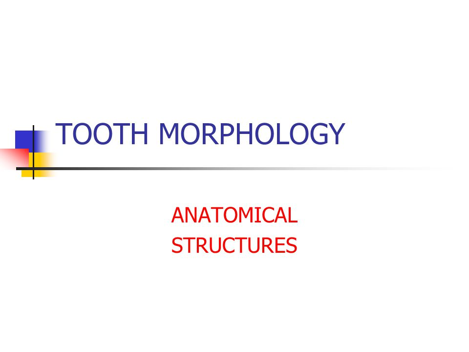 TOOTH MORPHOLOGY ANATOMICAL STRUCTURES