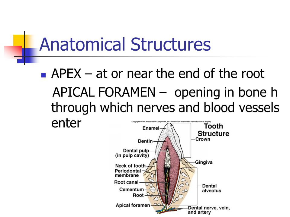 Anatomical Structures FURCATION – dividing point of a multi- rooted tooth Furca means fork BIFURCATED – branched in two 'bi' – means two (two roots) TRIFURCATED – branched in three 'tri' – means three (three roots)