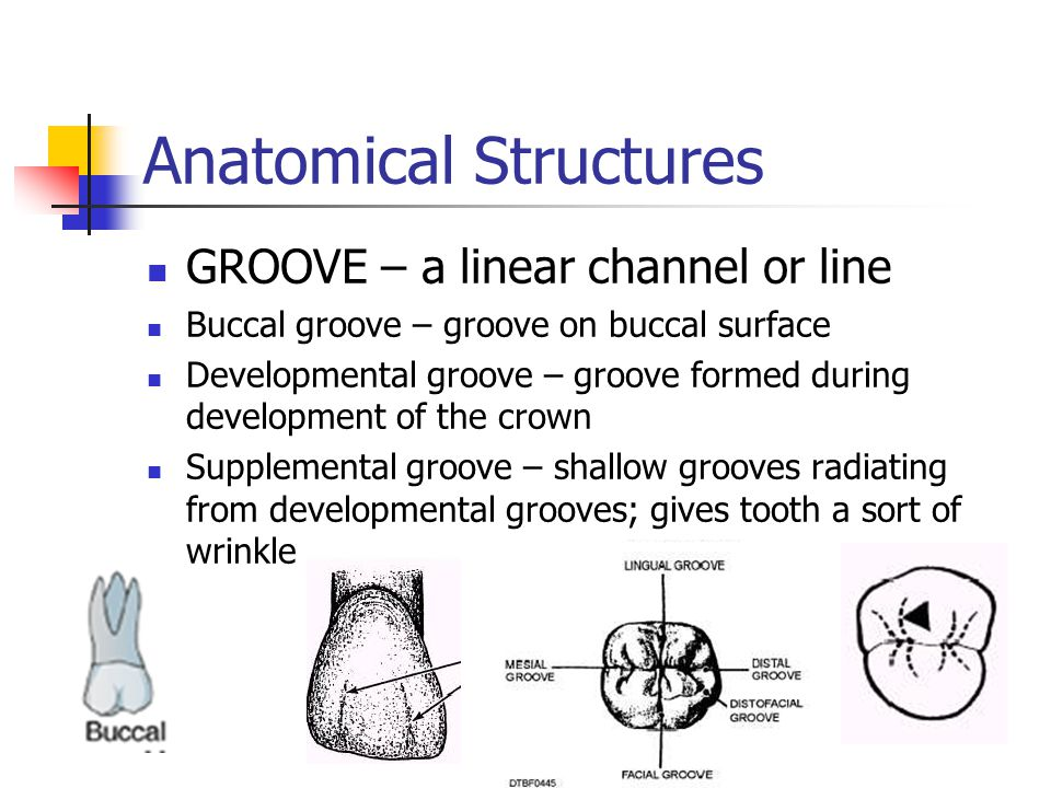 Anatomical Structures GROOVE – a linear channel or line Buccal groove – groove on buccal surface Developmental groove – groove formed during developme