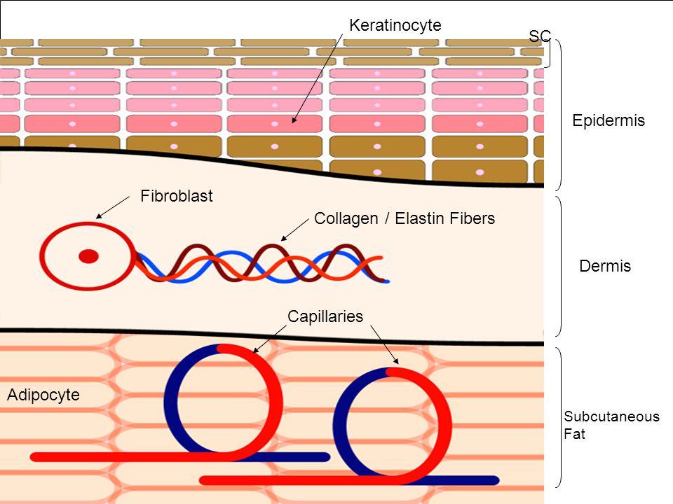 Epidermis Dermis Subcutaneous Fat Fibroblast Collagen / Elastin Fibers Capillaries Keratinocyte Adipocyte SC
