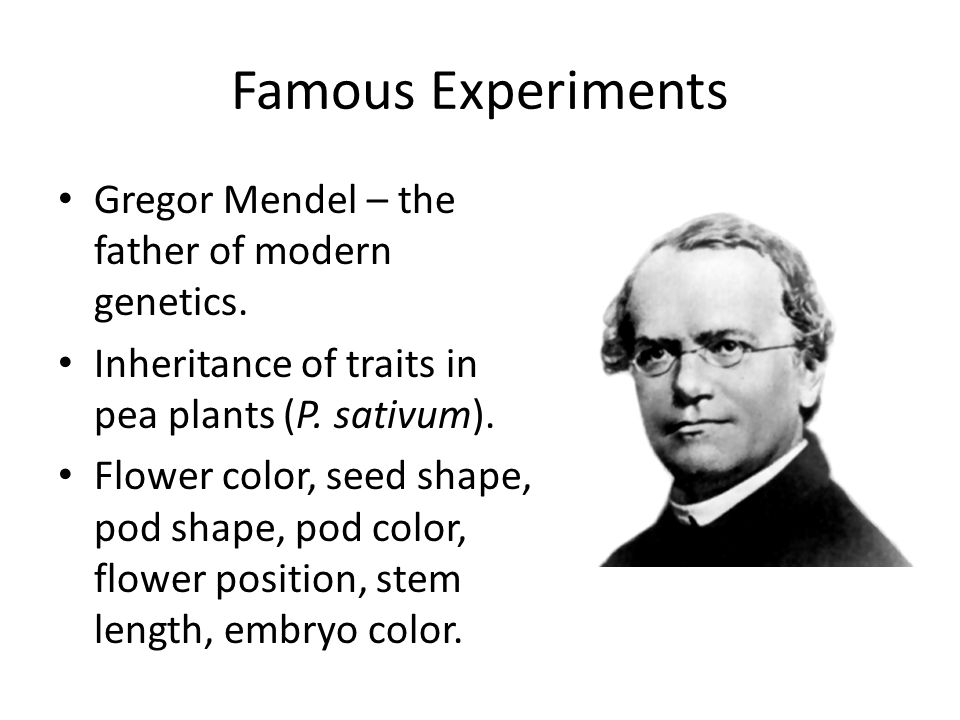 Famous Experiments Gregor Mendel – the father of modern genetics. Inheritance of traits in pea plants (P. sativum). Flower color, seed shape, pod shap