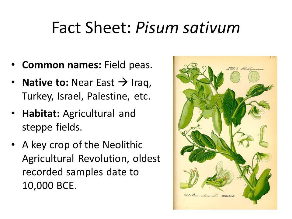 Fact Sheet: Pisum sativum Common names: Field peas. Native to: Near East  Iraq, Turkey, Israel, Palestine, etc. Habitat: Agricultural and steppe fiel