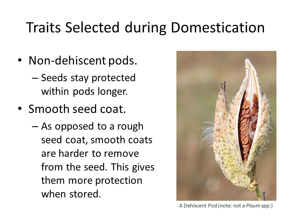 Traits Selected during Domestication Non-dehiscent pods. – Seeds stay protected within pods longer. Smooth seed coat. – As opposed to a rough seed coa