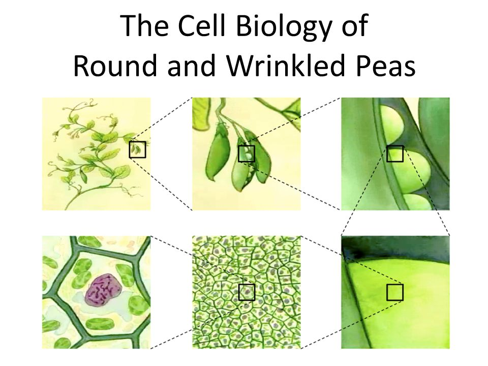 Two Traits This case examines the evolution of wrinkled pea seed shape.