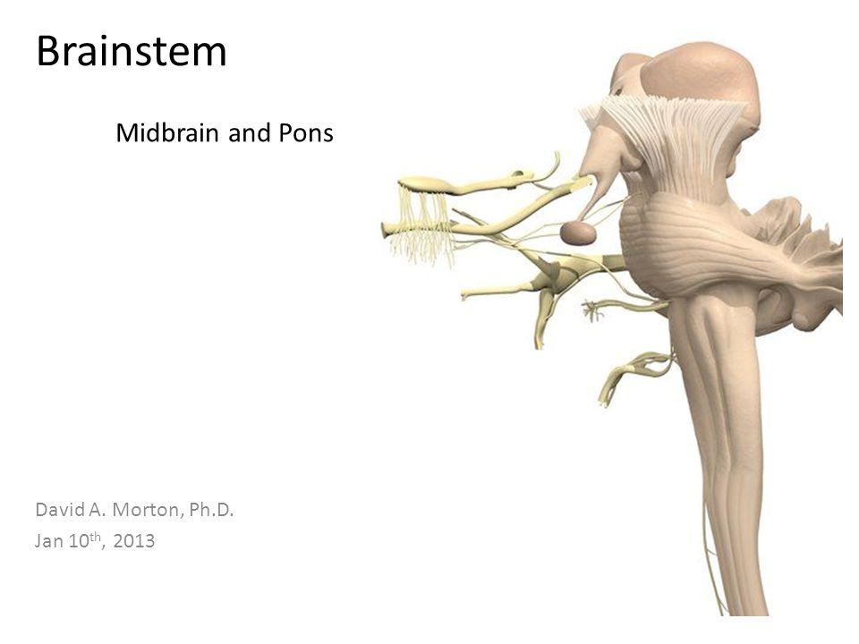 Brainstem David A. Morton, Ph.D. Jan 10 th, 2013 Midbrain and Pons