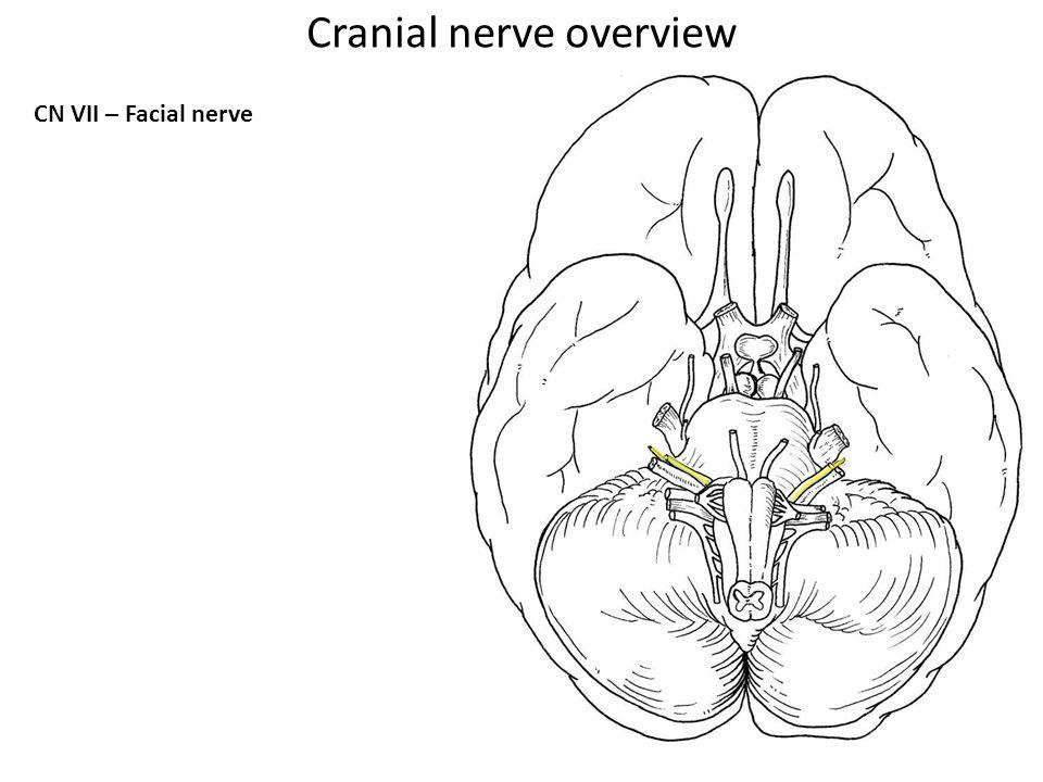 CN VII – Facial nerve Cranial nerve overview