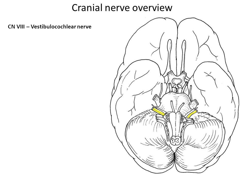 CN VIII – Vestibulocochlear nerve Cranial nerve overview
