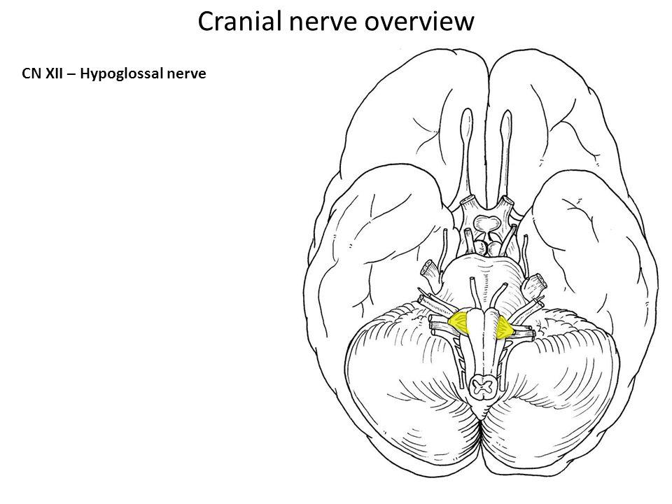 CN XII – Hypoglossal nerve Cranial nerve overview