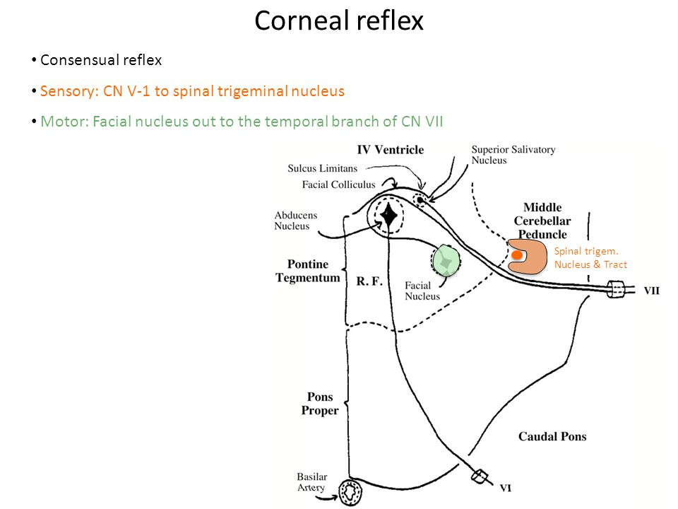 Corneal reflex Spinal trigem.