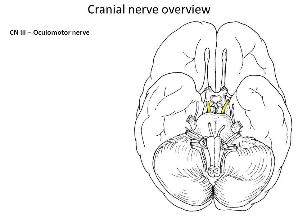 CN III – Oculomotor nerve Cranial nerve overview