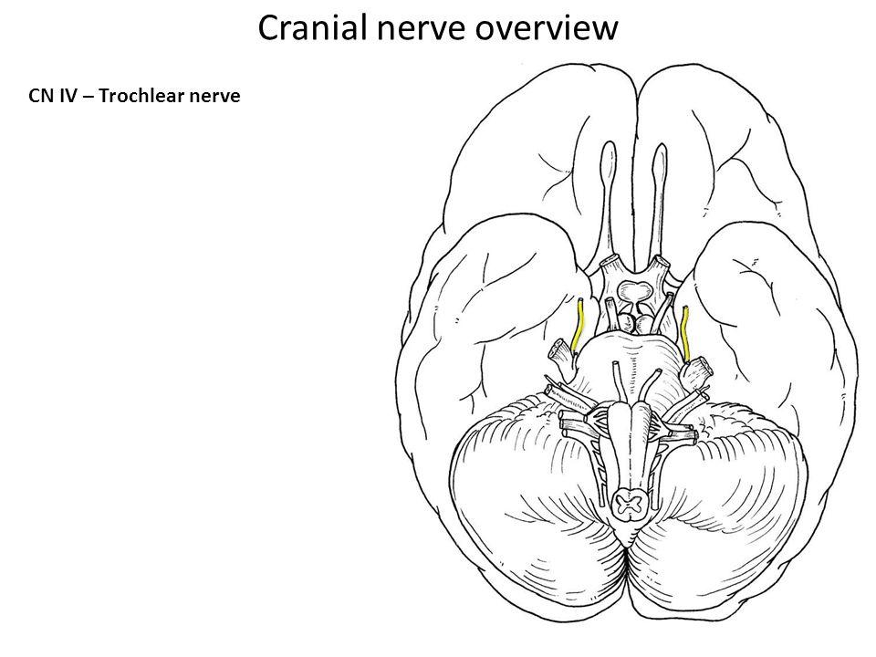 CN IV – Trochlear nerve Cranial nerve overview