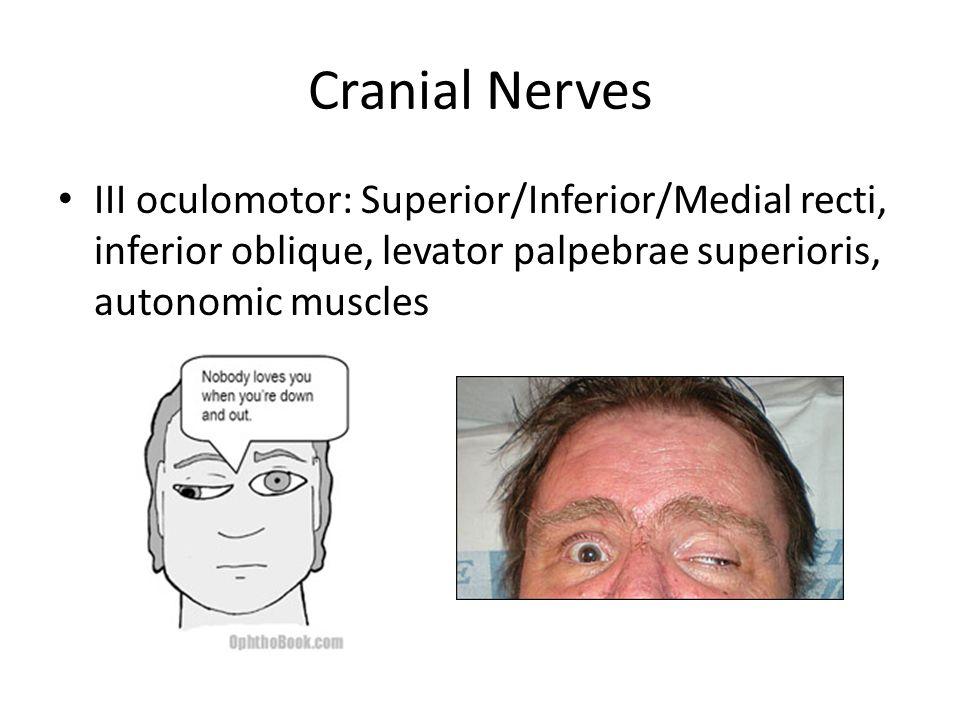 Cranial Nerves III oculomotor: Superior/Inferior/Medial recti, inferior oblique, levator palpebrae superioris, autonomic muscles