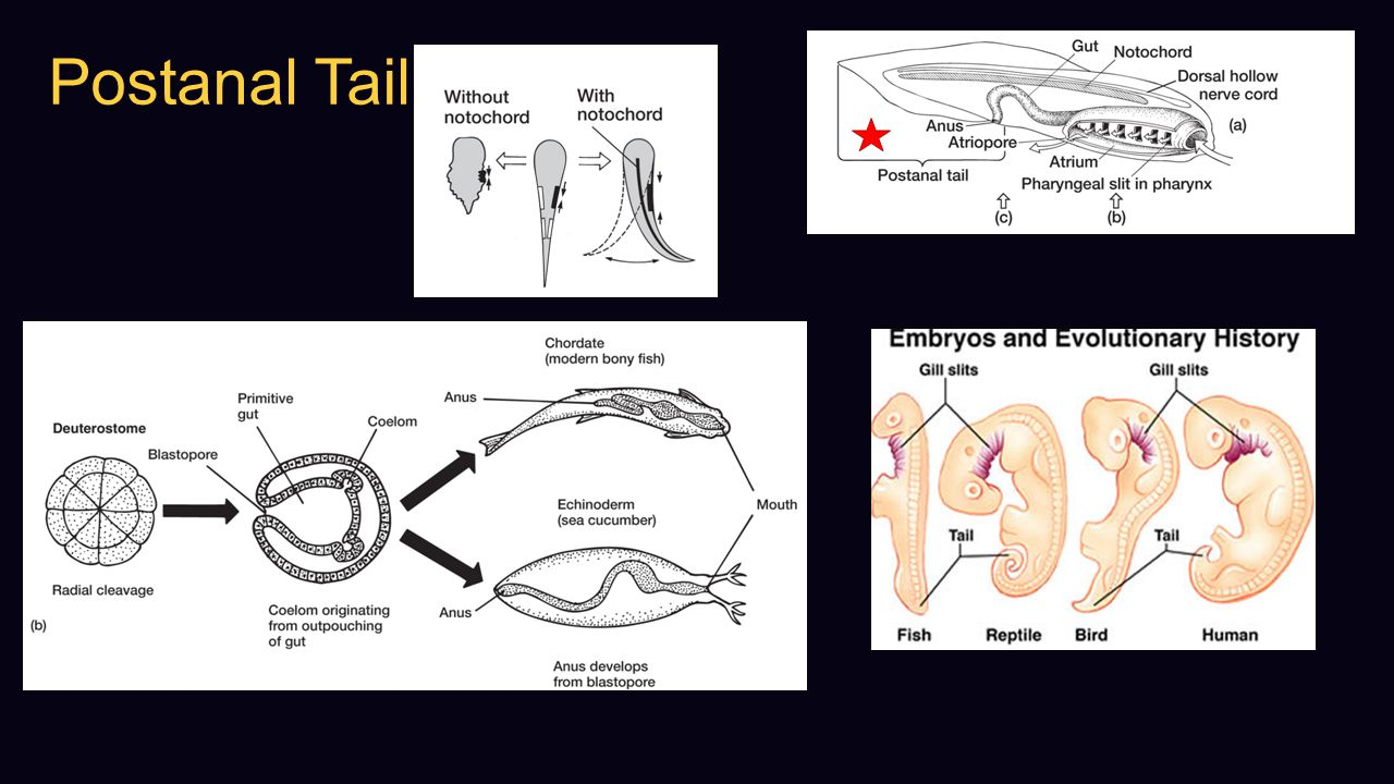 Postanal Tail