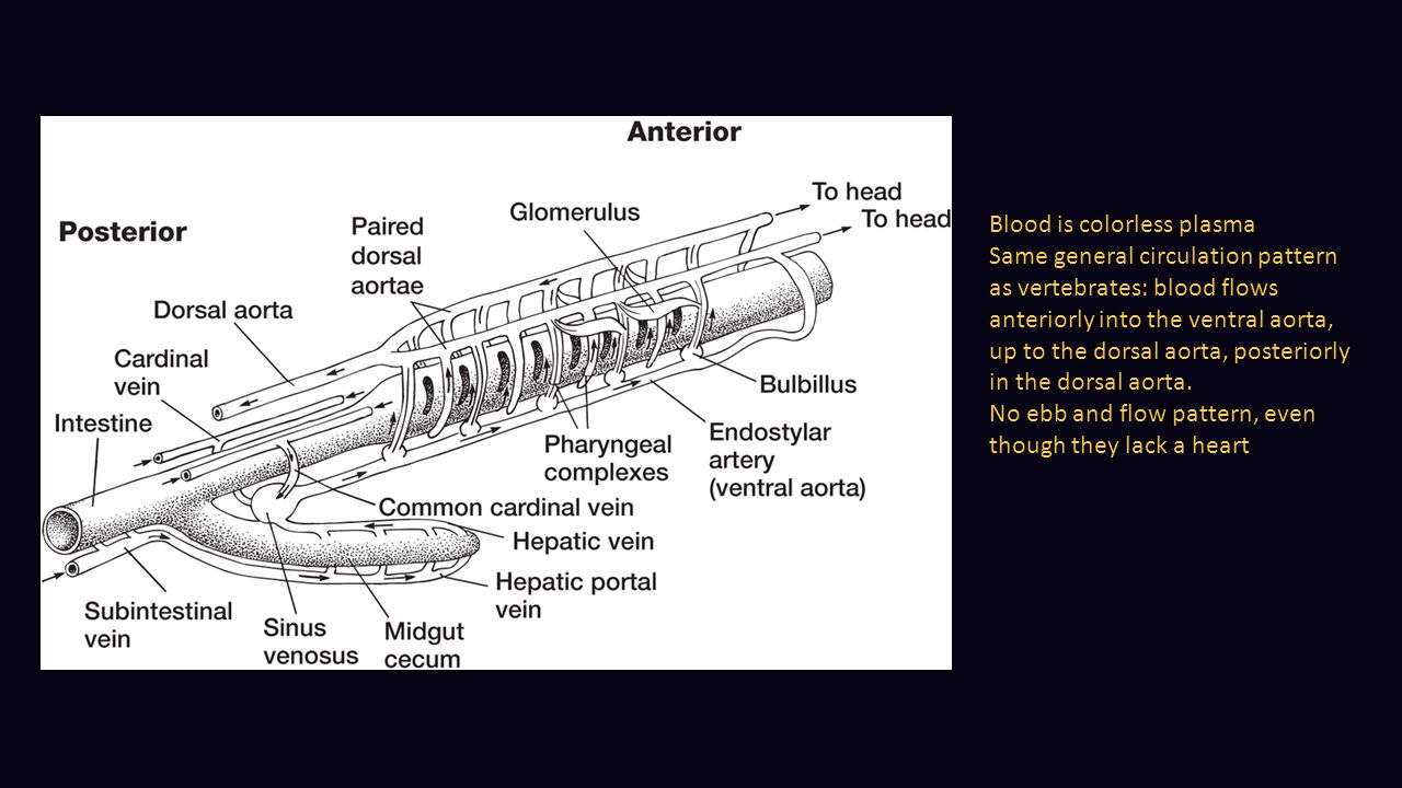 Blood is colorless plasma Same general circulation pattern as vertebrates: blood flows anteriorly into the ventral aorta, up to the dorsal aorta, post