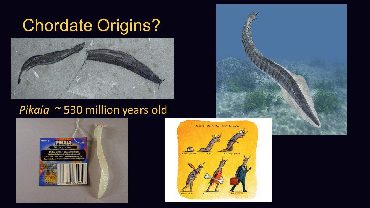 Chordate Origins? Pikaia ~ 530 million years old
