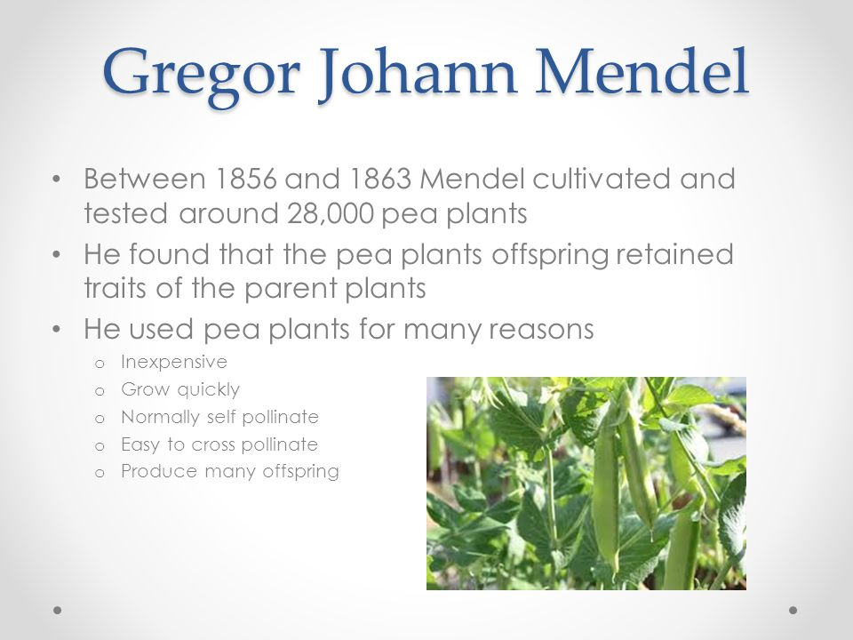 Gregor Johann Mendel Between 1856 and 1863 Mendel cultivated and tested around 28,000 pea plants He found that the pea plants offspring retained traits of the parent plants He used pea plants for many reasons o Inexpensive o Grow quickly o Normally self pollinate o Easy to cross pollinate o Produce many offspring