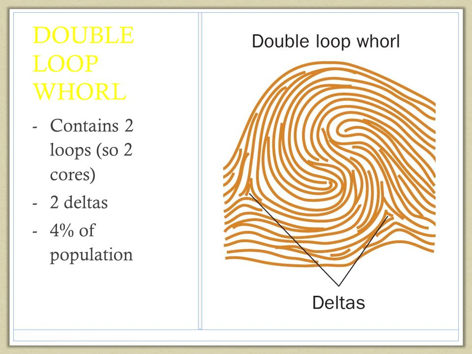 DOUBLE LOOP WHORL -Contains 2 loops (so 2 cores) -2 deltas -4% of population