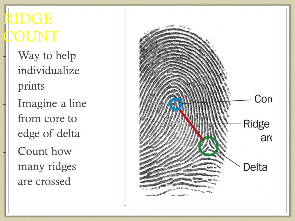 RIDGE COUNT -Way to help individualize prints -Imagine a line from core to edge of delta -Count how many ridges are crossed