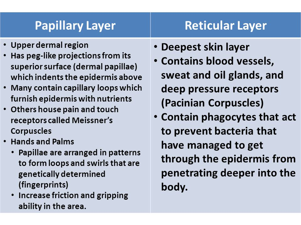 Papillary LayerReticular Layer Upper dermal region Has peg-like projections from its superior surface (dermal papillae) which indents the epidermis above Many contain capillary loops which furnish epidermis with nutrients Others house pain and touch receptors called Meissner's Corpuscles Hands and Palms Papillae are arranged in patterns to form loops and swirls that are genetically determined (fingerprints) Increase friction and gripping ability in the area.