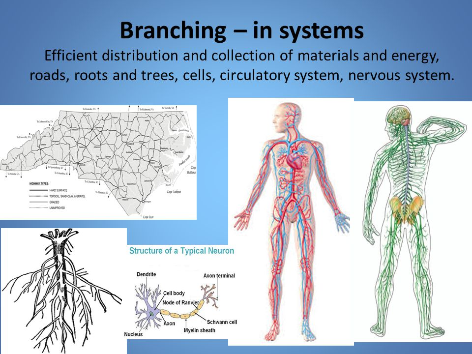 Branching – in systems Efficient distribution and collection of materials and energy, roads, roots and trees, cells, circulatory system, nervous system.