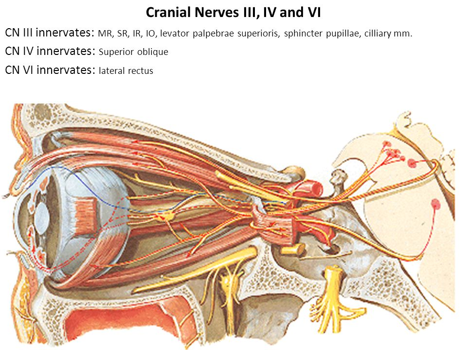 Cranial Nerves III, IV and VI CN III innervates: MR, SR, IR, IO, levator palpebrae superioris, sphincter pupillae, cilliary mm.