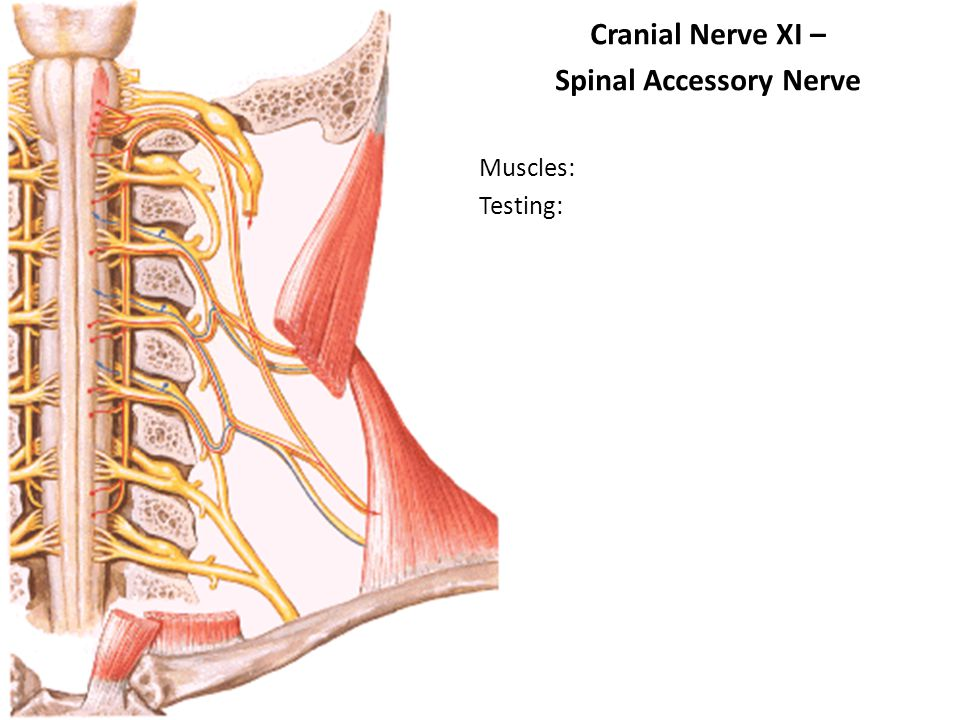 Cranial Nerve XI – Spinal Accessory Nerve Muscles: Testing: