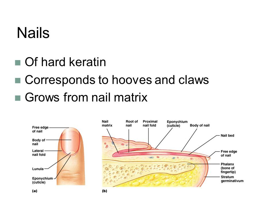 Nails Of hard keratin Corresponds to hooves and claws Grows from nail matrix
