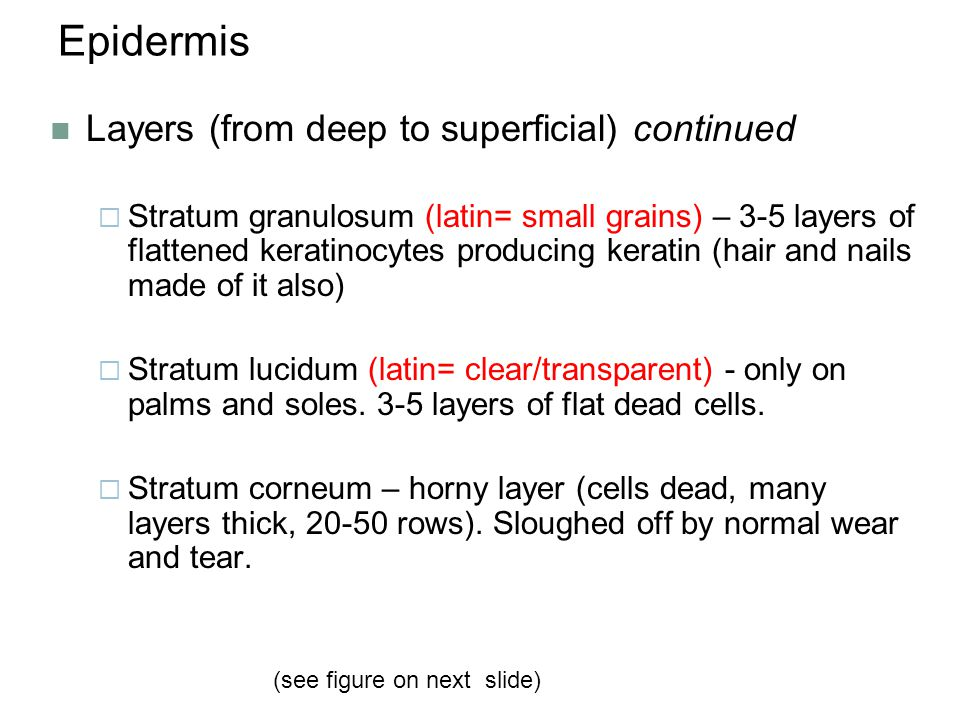 Epidermis Layers (from deep to superficial) continued  Stratum granulosum (latin= small grains) – 3-5 layers of flattened keratinocytes producing ker