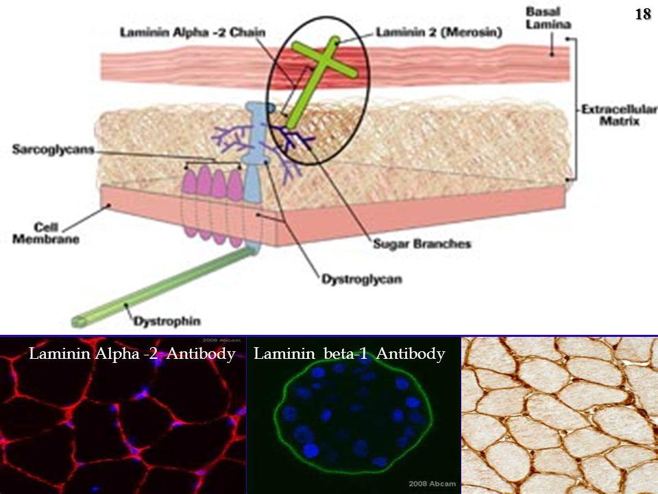 Laminin Alpha -2 AntibodyLaminin beta-1 Antibody18