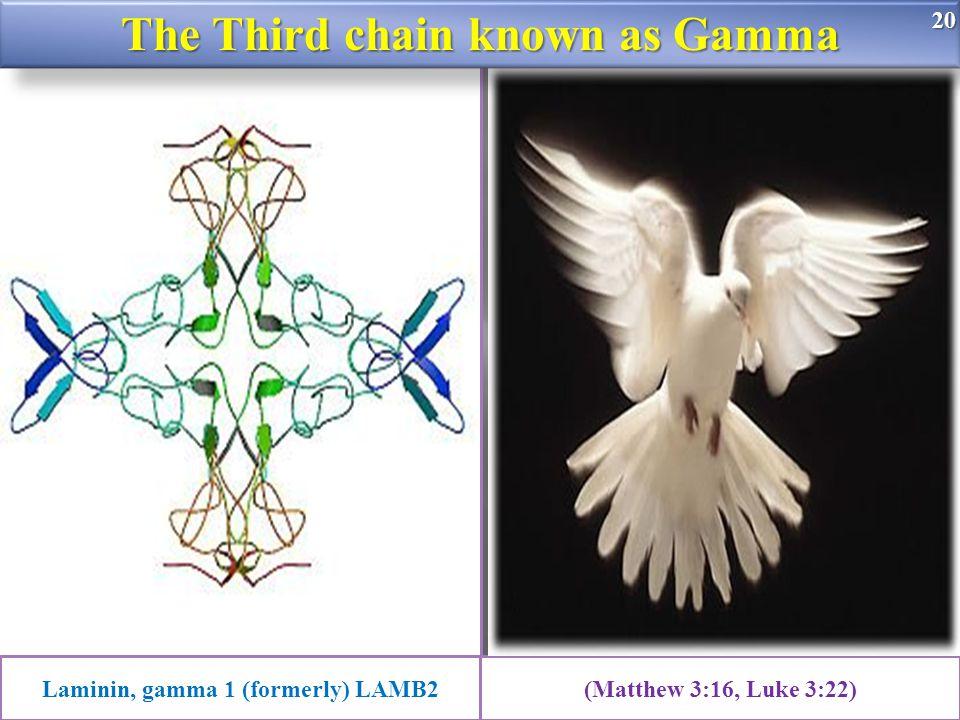 20 Laminin, gamma 1 (formerly) LAMB2(Matthew 3:16, Luke 3:22) The Third chain known as Gamma 20