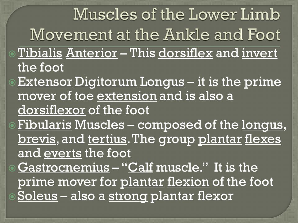  Tibialis Anterior – This dorsiflex and invert the foot  Extensor Digitorum Longus – it is the prime mover of toe extension and is also a dorsiflexor of the foot  Fibularis Muscles – composed of the longus, brevis, and tertius.
