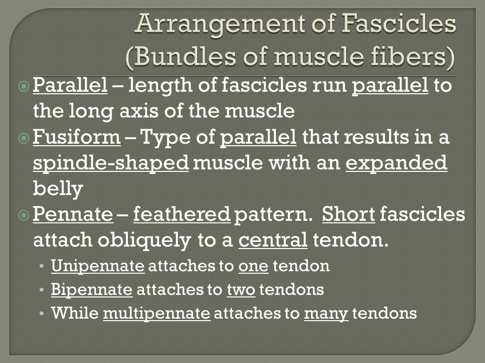  Parallel – length of fascicles run parallel to the long axis of the muscle  Fusiform – Type of parallel that results in a spindle-shaped muscle with an expanded belly  Pennate – feathered pattern.