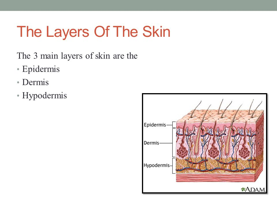 The Epidermis The epidermis is the outermost layer of skin which is made up of dead cells.