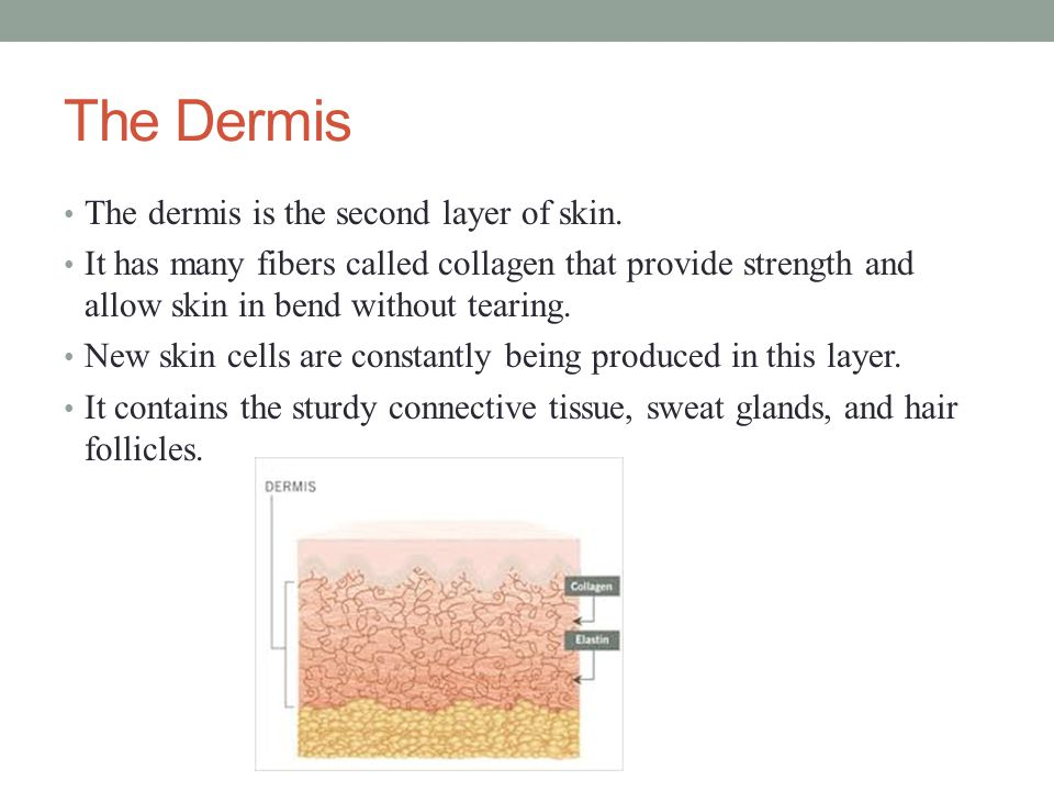 The Hypodermis (Fat) The hypodermis lies between the dermis and underlying tissues and organs.