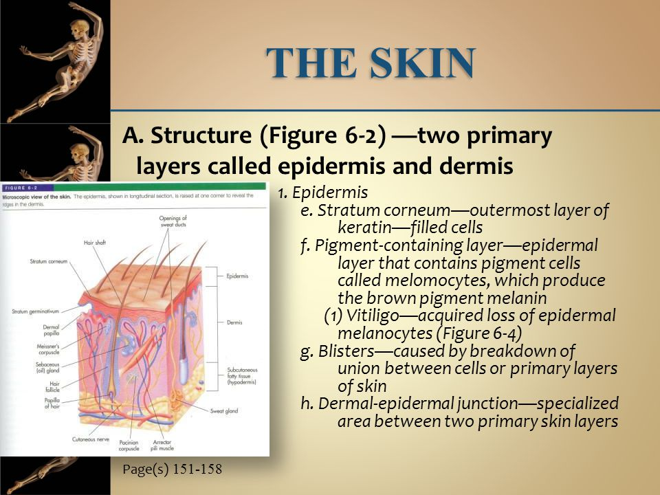 THE SKIN A. Structure (Figure 6-2) —two primary layers called epidermis and dermis Page(s) 151-158 1. Epidermis e. Stratum corneum—outermost layer of