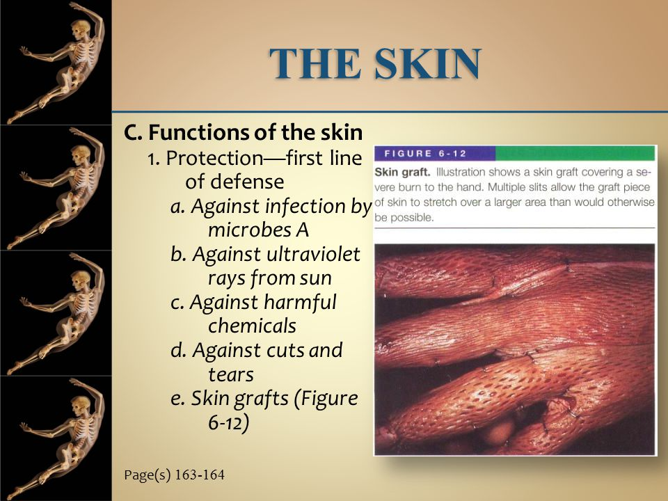 THE SKIN C. Functions of the skin 1. Protection—first line of defense a. Against infection by microbes A b. Against ultraviolet rays from sun c. Again