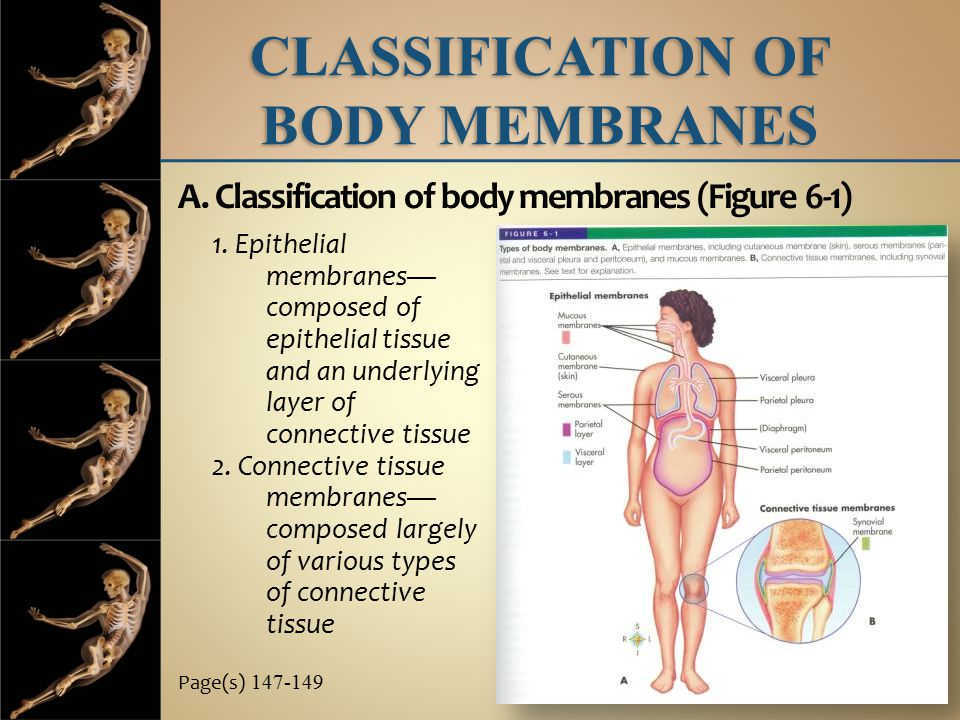 CLASSIFICATION OF BODY MEMBRANES A. Classification of body membranes (Figure 6-1) Page(s) 147-149 1. Epithelial membranes— composed of epithelial tiss