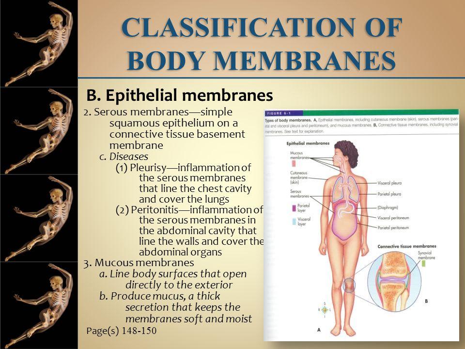 2.Serous membranes—simple squamous epithelium on a connective tissue basement membrane c.