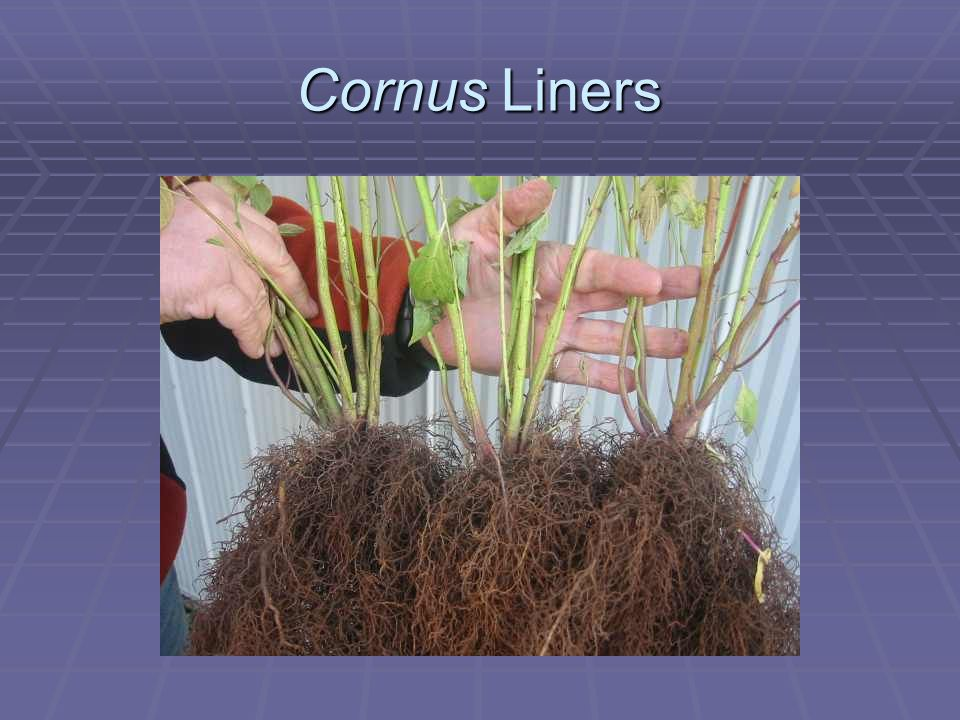 Cornus Liners